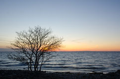 Silhouette of a bare tree by the coast at sunset. Silhouette of a bare tree at sunset by the coast of the swedish island Oland Stock Images