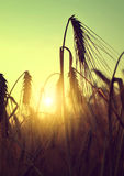 Silhouette of a barley field Royalty Free Stock Photo