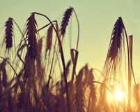 Silhouette of a barley field Stock Photography