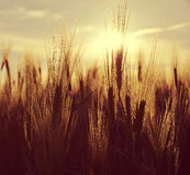 Silhouette of a barley field Royalty Free Stock Photos