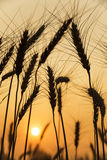 Silhouette of barley Royalty Free Stock Photos