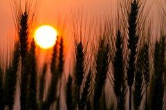 Barley. Silhouette of barley on a sundown background Royalty Free Stock Photo
