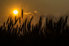 Silhouette of barley Stock Images