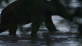 Silhouette of  bear stock footage