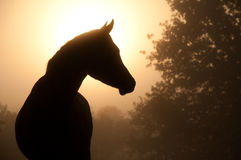 Silhouette of a beautiful Arabian horse Royalty Free Stock Photo