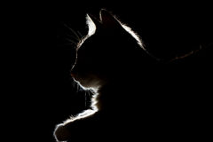Silhouette of a beautiful cat on a black background Royalty Free Stock Photo