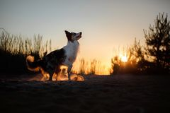Dog silhouette at sunset. Silhouette of a beautiful dog at sunset in nature Stock Images