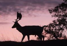 Fallow deer buck. Silhouette of a beautiful fallow deer buck royalty free stock photography