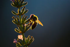Silhouette Of Bee On Lavender Flower Royalty Free Stock Photos