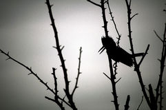 Silhouette of a belted kingfisher Royalty Free Stock Photo