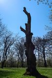 Silhouette of a big dead tree trunk with a little bird on stock photography