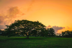 Silhouette Big tree on grass Royalty Free Stock Photography