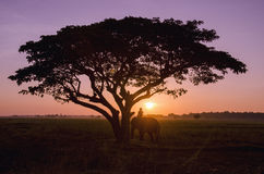 Silhouette big tree with the rice field in the sunset. Stock Photos