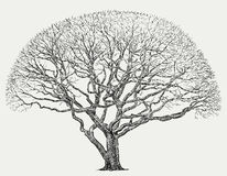 Silhouette of a big tree. Vector image of an old deciduous tree in the spring vector illustration