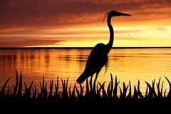 Silhouette of Big White heron staying. Into a grass on a coast of river Royalty Free Stock Photo