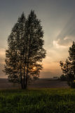 Silhouette of birch tree at sunset on a background of green gras Royalty Free Stock Image