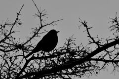 Silhouette of bird against winter sky. Winter bird resting in a tree Stock Photo