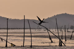 Silhouette bird are flying at sunset time on the lake Royalty Free Stock Photography