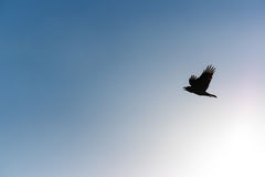 Silhouette a bird flying to blue sky in the morning. Silhouette a bird flying to blue sky in morning Stock Photography