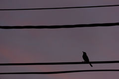 Silhouette bird perch on cable line Royalty Free Stock Photo