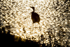 Silhouette of bird in shallows Royalty Free Stock Photo