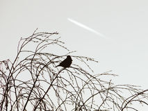 Silhouette of a bird sitting on the birch trees against the sky Stock Photography