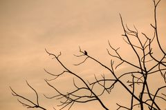 Silhouette of bird sitting on the brances of dried tree during royalty free stock photo