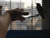 Hand giving water to bird in a cage. Silhouette of a bird sitting in a cage and a human hand giving water, concept of animals care royalty free stock images