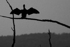 Silhouette bird spreads wings Stock Images