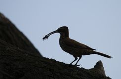 Silhouette of a bird standing on a tree trunk with an insect in its beak royalty free stock photography
