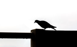 Silhouette of A Bird walk on wall Royalty Free Stock Photos
