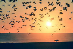 Silhouette birds over the ocean during sunset. A flock of seagulls Royalty Free Stock Photography