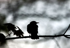 Silhouette of black bird sitting on tree branch on gray Stock Photos