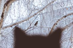 Silhouette of a black cat watching the bird through the window. Silhouette of a black cat watching a bird through a window in snowy weather Stock Photo