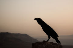 Silhouette of a black crow at dawn Stock Photos