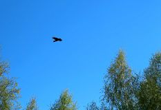 The silhouette of a black crow Soaring on blue sky background. The silhouette of a black crow screaming and soaring on blue sky background Stock Photography