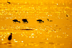 Silhouette of Black-faced Spoonbill (Platalea minor) seeking food in sea with twilight Royalty Free Stock Image