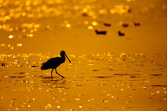 Silhouette of Black-faced Spoonbill (Platalea minor) seeking food in sea with twilight Royalty Free Stock Photos