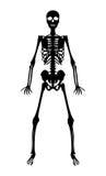 Silhouette black human skeleton on white background. A silhouette black human skeleton on white background Stock Photos