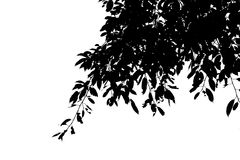 Silhouette Black leaf on the branches isolate on white background Stock Photography