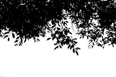 Silhouette Black leaf on the branches isolate on white background Royalty Free Stock Image