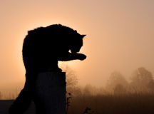 Silhouette of a black long haired cat. Washing his paw against sunrise in heavy fog, in rich warm tone Stock Photography