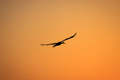 Silhouette of a black stork who flying on sunrise Stock Photo