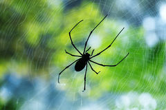 Silhouette black thin spider sitting and waiting on its prey in the middle of its web. Royalty Free Stock Image