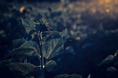 Sunflower silhouette at sunset royalty free stock photo