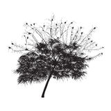 Silhouette of the blossoming acacia Royalty Free Stock Images