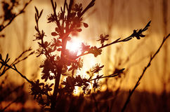Silhouette of a blossoming apple tree branch with flare. From the sun Royalty Free Stock Image