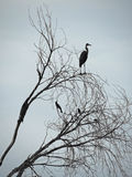 Silhouette - Blue Heron Royalty Free Stock Image