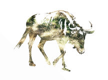 Silhouette of Blue wildebeest. Connochaetes taurinus filled with dried grass scheme. Vector graphic. Natural theme. Antelope stencil. Mammal theme. Cutout Royalty Free Stock Images