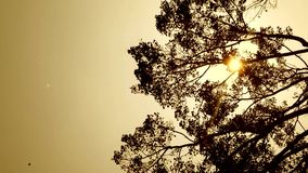 Silhouette Bodhi Tree being blown. With orange sunlight stock footage